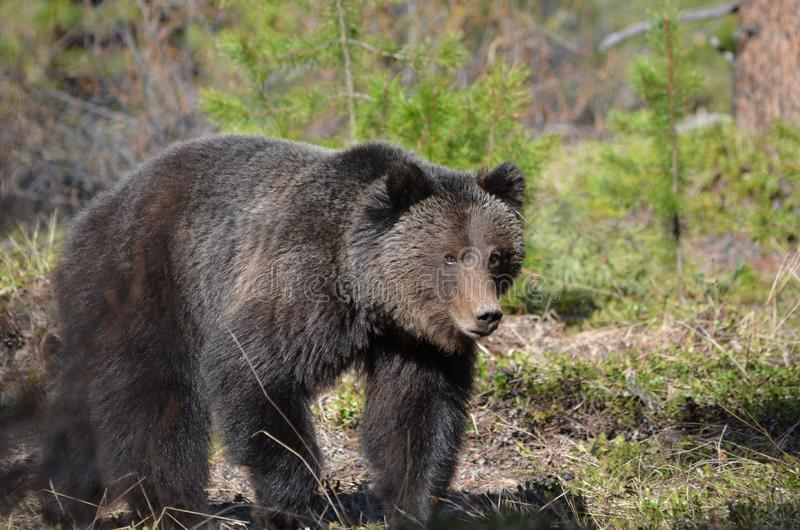 Grizzly young adult walking in a forest stock photography
