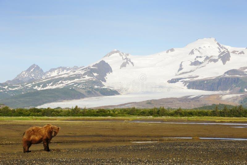 Grizzlybär stockfoto