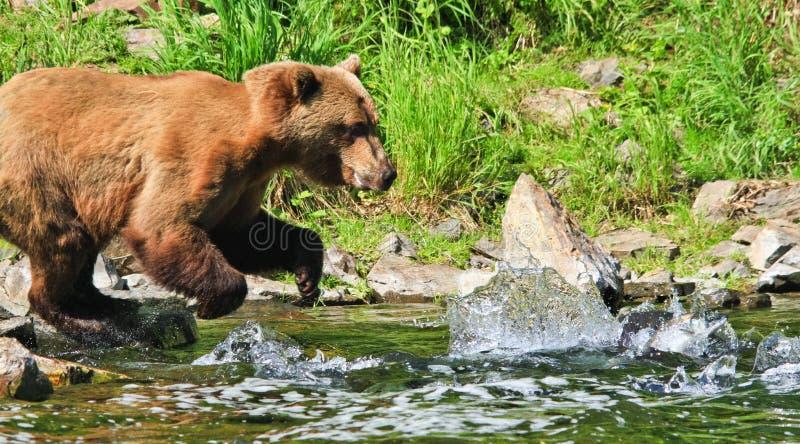 Grizzlybär Alaskas Brown, der für Lachse fischt lizenzfreie stockfotos