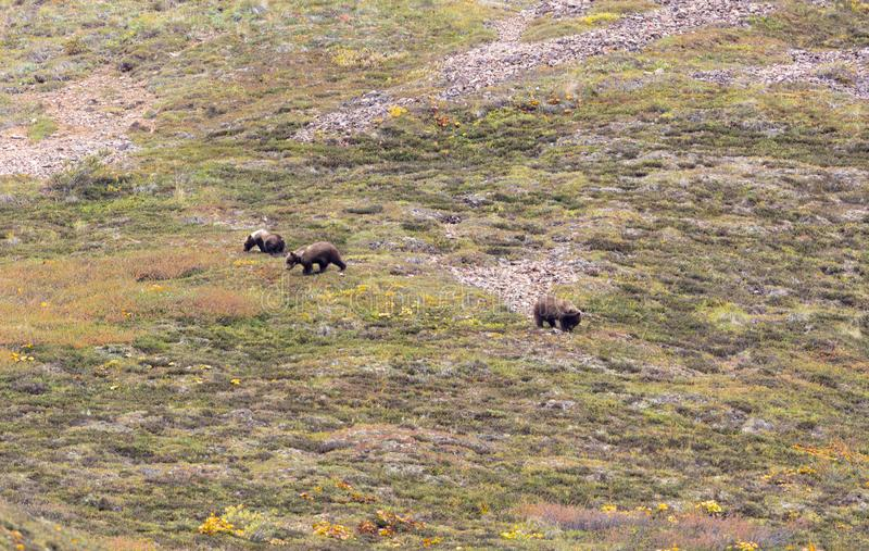 Grizzlybär CUB im Herbst stockfotos