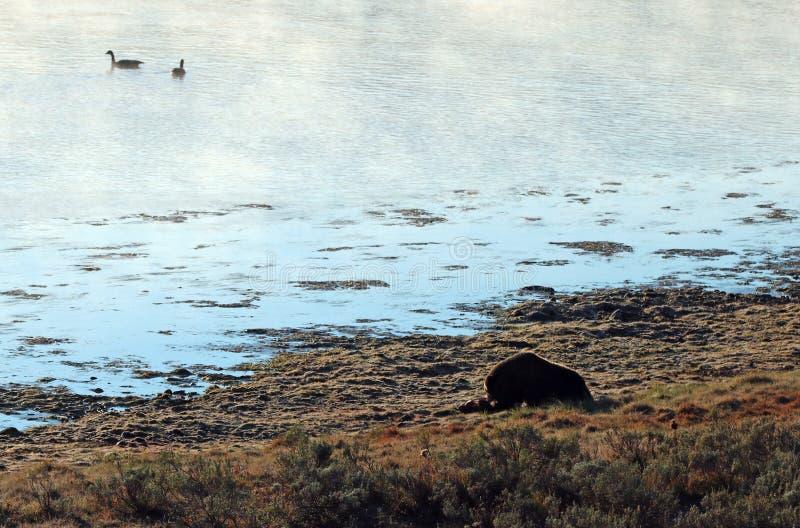 Grizzlybär, der auf Elchkarkasse durch den dämpfenden Yellowstone River im Morgenlicht in Yellowstone NP in Wyoming USA einzieht stockfoto