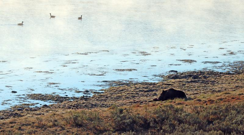 Grizzlybär, der auf Elchkarkasse durch den dämpfenden Yellowstone River im Morgenlicht in Yellowstone NP in Wyoming USA einzieht stockbild