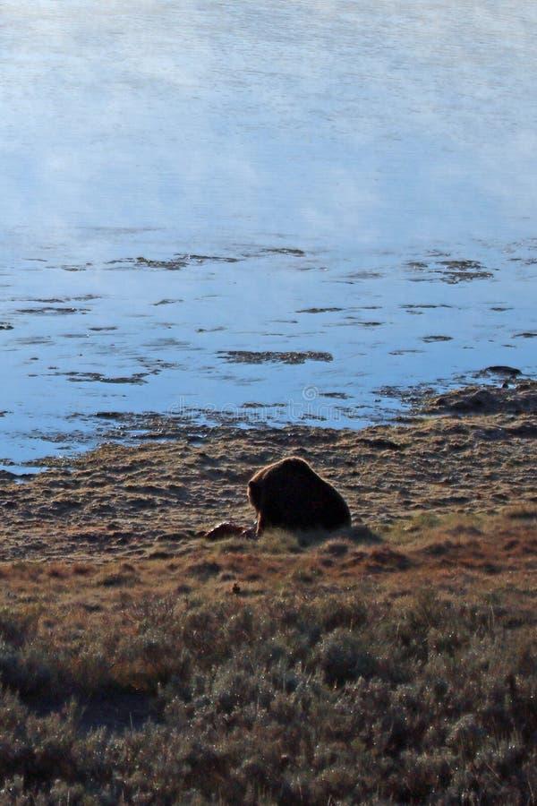 Grizzlybär, der auf Elchkarkasse durch den dämpfenden Yellowstone River im Morgenlicht in Yellowstone NP in Wyoming USA einzieht lizenzfreie stockbilder