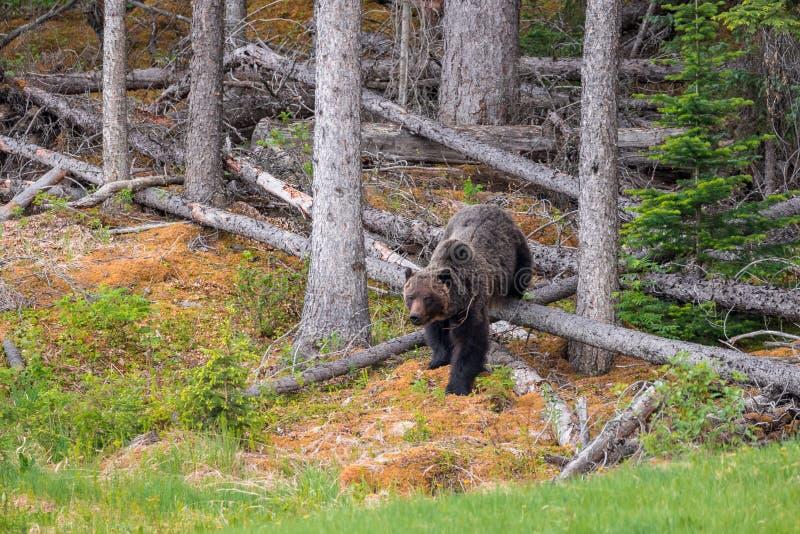 Grizzlybär, der aus dem Holz heraus nahe Jaspis geht stockfotos