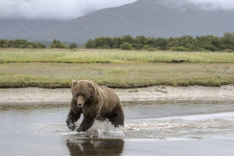 Grizzlybär ein Sekunde vor einem Fang lizenzfreies stockbild