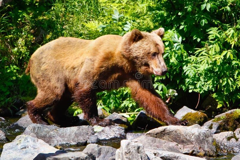 Grizzlybär-Gehen Alaskas Brown lizenzfreie stockbilder
