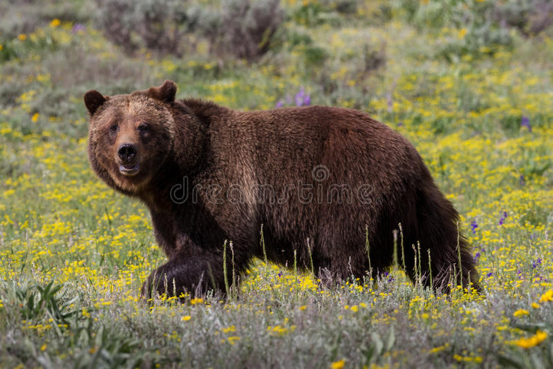 Grizzlybär-im Frühjahr Wiese stockbild