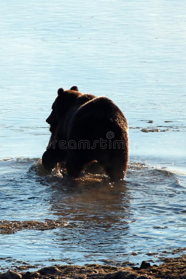 Grizzlybär mit Elchen schmeicheln sich Karkasse in seiner Mundschwimmen über Yellowstone River in Yellowstone Nationalpark in Wyo lizenzfreie stockfotografie