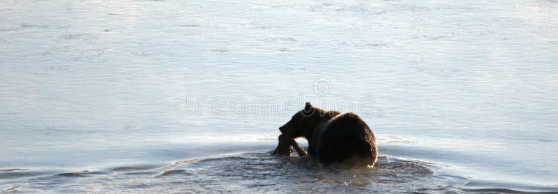Grizzlybär mit Elchen schmeicheln sich Karkasse in seiner Mundschwimmen über Yellowstone River in Yellowstone Nationalpark in Wyo lizenzfreie stockbilder