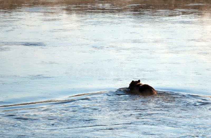 Grizzlybär mit Elchen schmeicheln sich Karkasse in seiner Mundschwimmen über Yellowstone River in Yellowstone Nationalpark in Wyo lizenzfreie stockfotos