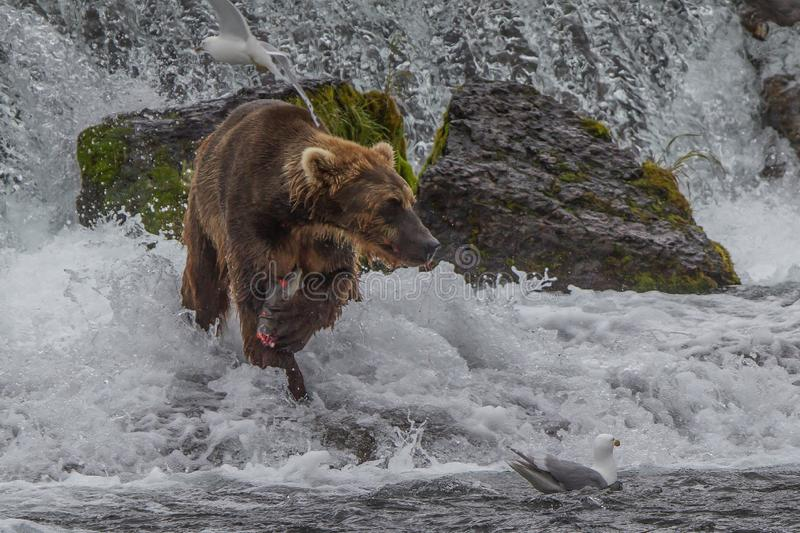 Grizzlybär in Nationalpark Alaskas Katmai jagt Lachse Ursus arctos horribilis stockfotos