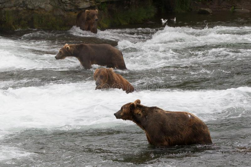 Grizzlybär in Nationalpark Alaskas Katmai jagt Lachse Ursus arctos horribilis stockfoto