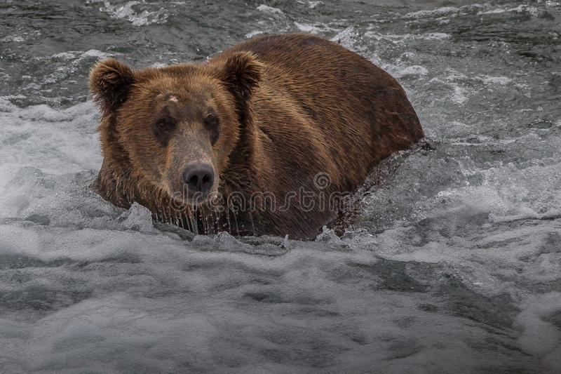 Grizzlybär in Nationalpark Alaskas Katmai jagt Lachse Ursus arctos horribilis stockbild