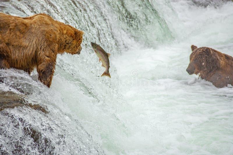 Grizzlybären, die für Lachse fischen stockbilder