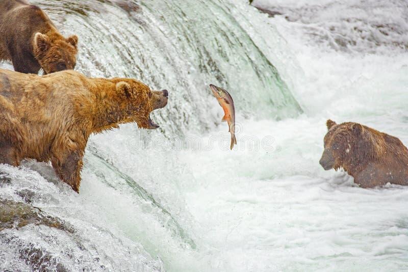 Grizzlybären, die für Lachse fischen stockfotos