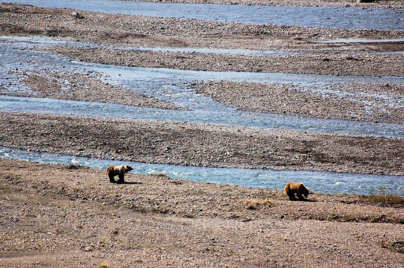 Grizzlybären entlang dem Strom an Nationalpark Denali lizenzfreie stockfotos