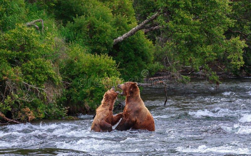 Grizzlybären von Alaska lizenzfreie stockbilder