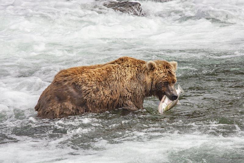 Grizzlybären von Katmai NP lizenzfreie stockfotos