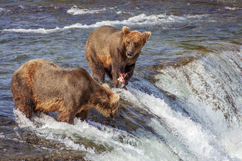 Grizzlybären von Katmai NP stockfotografie