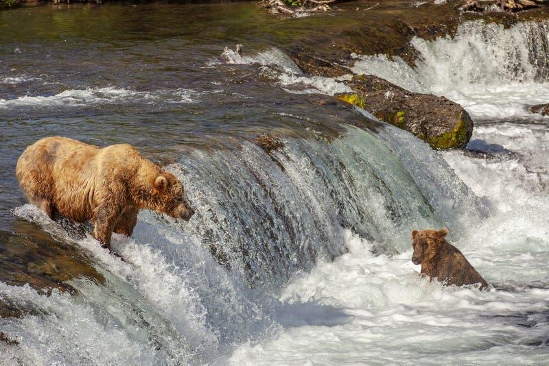 Grizzlyb lizenzfreie stockbilder