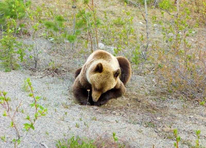 Grizzlybear выкапывать для корней в предыдущей весне стоковая фотография