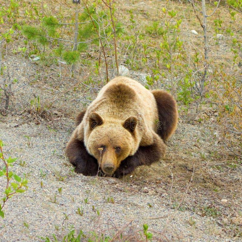 Grizzlybear выкапывать для корней в предыдущей весне стоковое изображение
