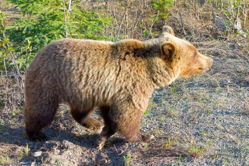 Grizzlybear выкапывать для корней в предыдущей весне стоковое изображение rf
