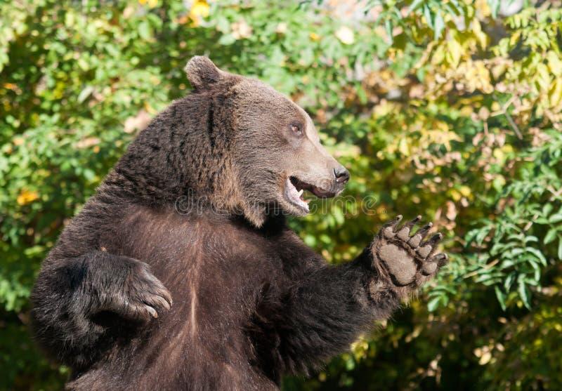 Download Grizzlybjörn arkivfoto. Bild av hälsningar, jordluckrare - 27275350