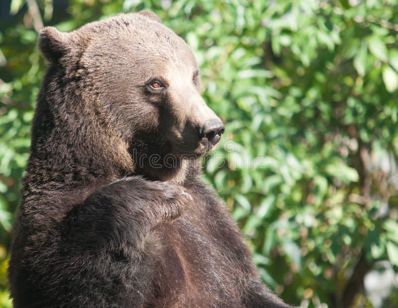 Download Grizzlybjörn arkivfoto. Bild av wild, högt, angus, vila - 27275374