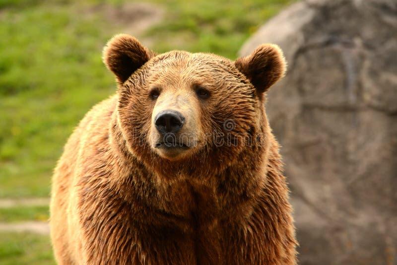 Grizzlyclose-up van hoofd stock foto's