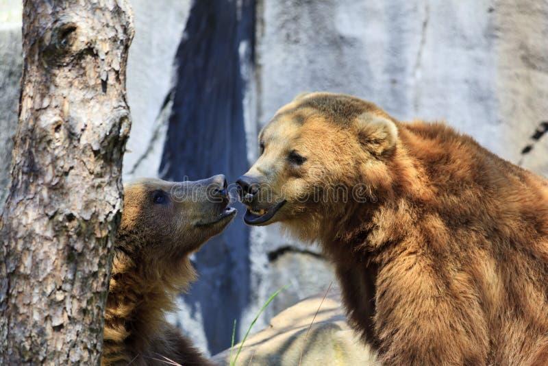 Grizzlys royalty-vrije stock fotografie