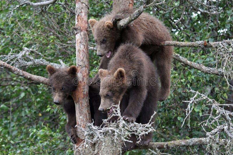 grizzlytree för 3 5 gröngölingar arkivfoton