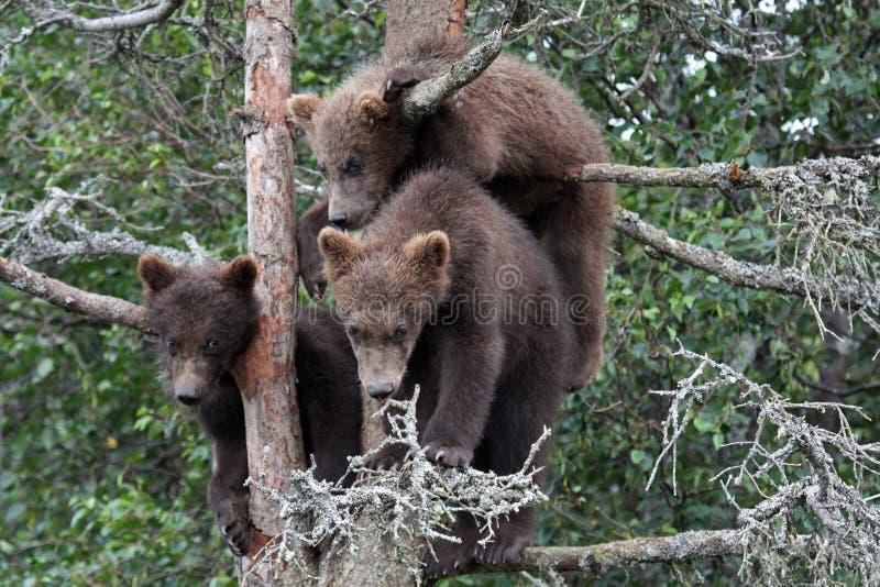grizzlytree för 3 6 gröngölingar arkivbild