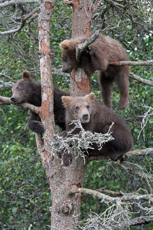 grizzlytree för 3 gröngölingar fotografering för bildbyråer