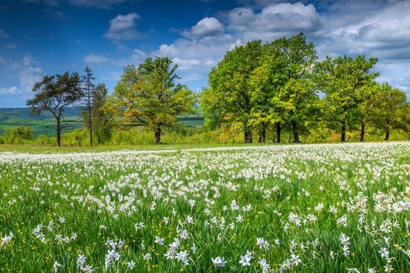 Großartige Frühlingslandschaft und weiße Narzissen blüht in Siebenbürgen, Rumänien stockbilder