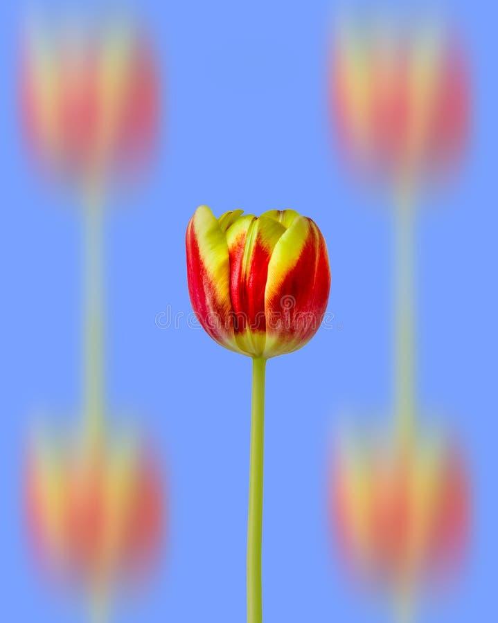 Großartige gelbe und rote Tulpe lizenzfreies stockfoto