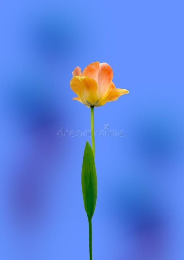 Großartige gelbe und rote Tulpe stockfotos