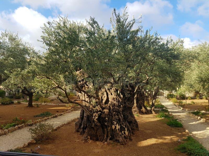 Großartige Oliven lizenzfreies stockfoto