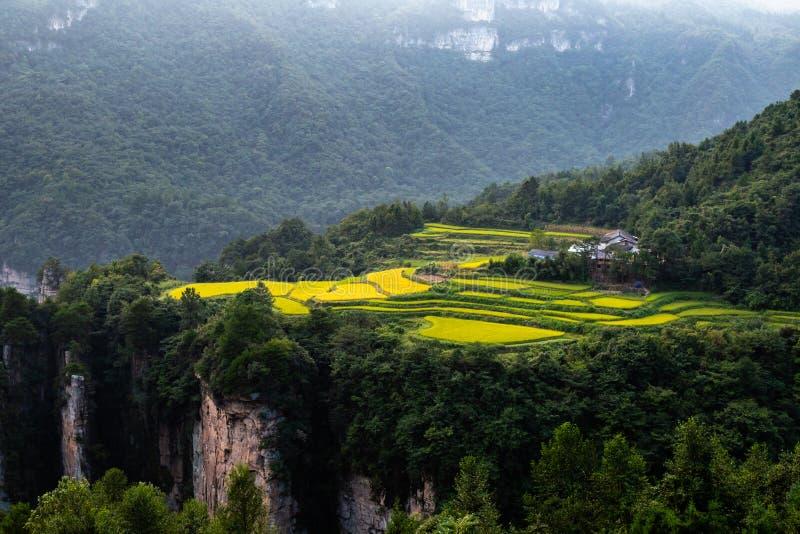 Großartige Reisfeldterrassen bei Sonnenuntergang vor Laowuchang-Dorf, in Nationalpark Wulingyuan, Zhangjiajie, China stockbild