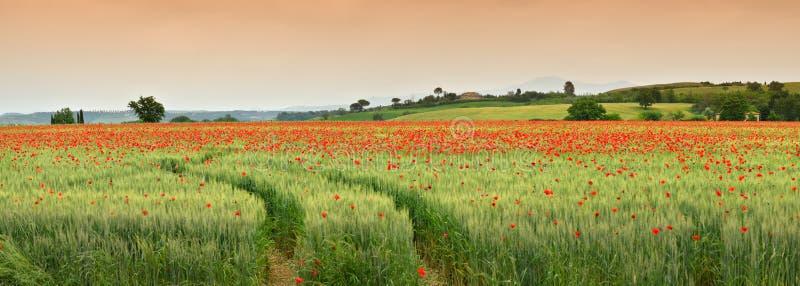 Großartige Toskana-Frühlingslandschaft mit roten Mohnblumen auf einem grünen Weizengebiet, nahe Monteroni d 'Arbia, Siena Tuscany stockfotos