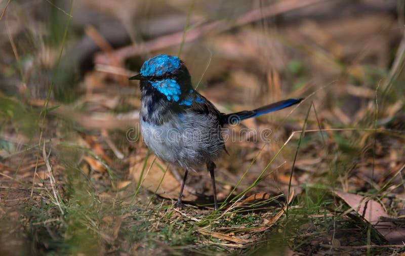 Großartiger feenhafter Zaunkönig in Tasmanien stockfotografie