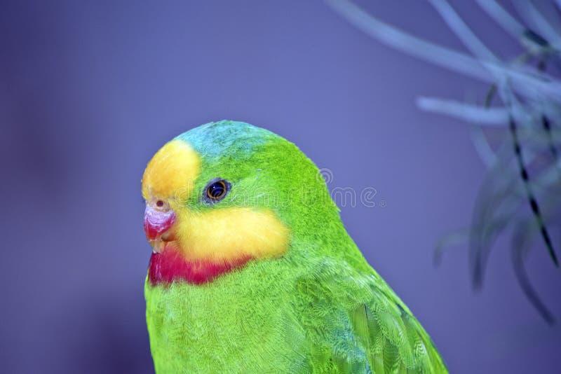 Großartiger Papagei stockbild