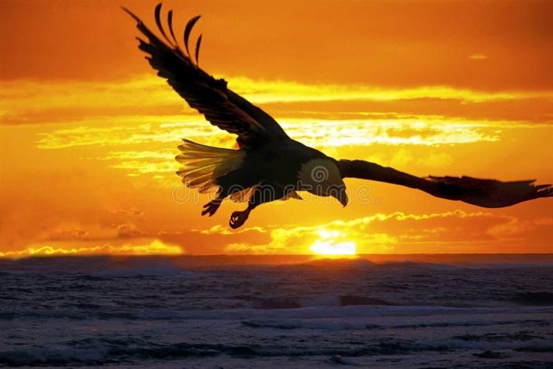 Großartiger Sonnenuntergang mit dem Weißkopfseeadler, der über Wasser nahe Küstenlinie ansteigt lizenzfreie stockfotos