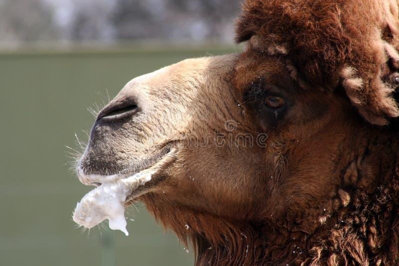 Großartiges Kamel lizenzfreie stockfotos