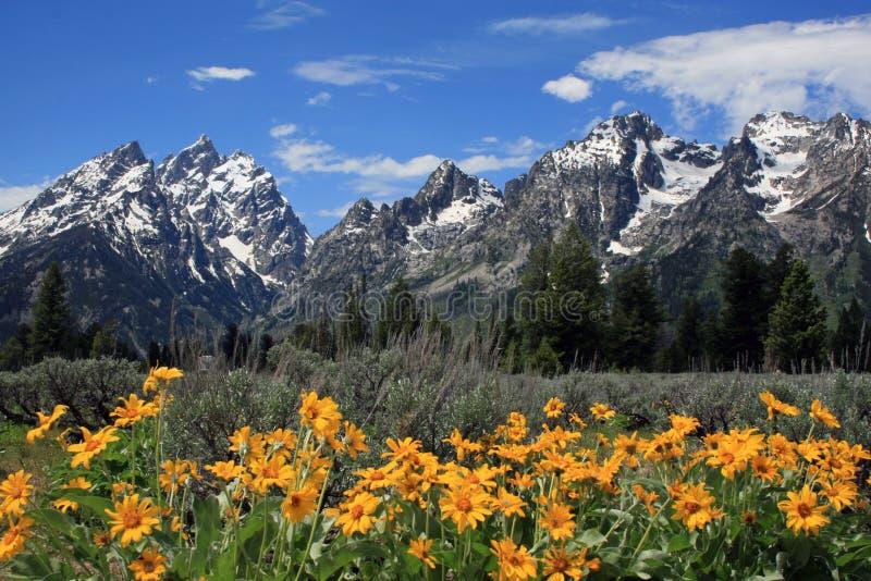 Großartiges Teton mit gelben Frühlings-Blumen stockfotos