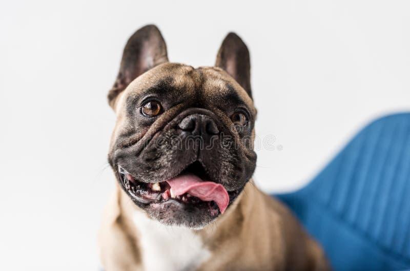 Großaufnahme der entzückenden französischen Bulldogge mit der heraus schauenden Zunge lizenzfreie stockbilder