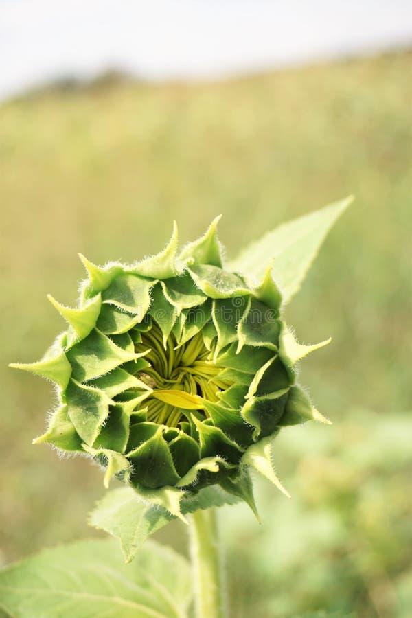 Großaufnahme der Sonnenblumenknospe mit undeutlichem Hintergrund stockbild