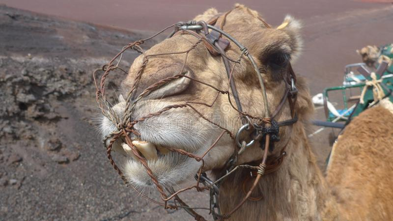 Großaufnahme des Kopfes eines wissenschaftlichen dromedarius Camelus Name des Kamels lizenzfreie stockfotografie