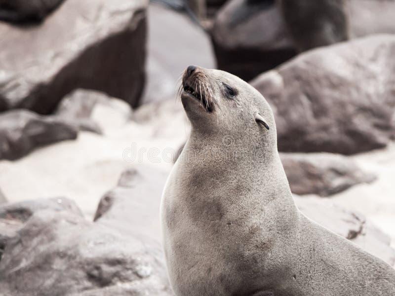 Großaufnahme des Südafrikanischer Seebären, Kap-Querkolonie, Skeleton Küste, Namibia, Afrika stockbild