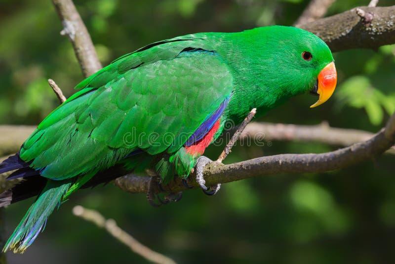 Großaufnahme eines erwachsener Mann-Eclectus-Papageien lizenzfreies stockfoto